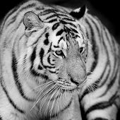 image of sundarbans  - Closeup Tiger animal wildlife on black and white background - JPG