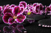 pic of geranium  - beautiful spa background of geranium flower beads and black zen stones with drops in reflection water Royal Pelargonium closeup - JPG