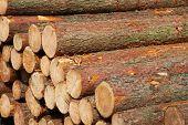 stock photo of pinus  - Stacked pine trunks  - JPG
