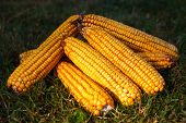 pic of corn-silk  - bunch of fresh corn on the grass - JPG