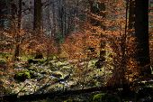 picture of conifers  - Mixed forest with conifers and deciduous trees in autumn or spring - JPG