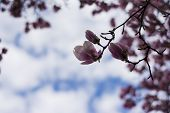 picture of rare flowers  - Huge magnolia tree in spring blossom with lots of purple and pink flowers on many branchesone flower close up - JPG