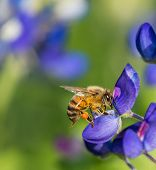 stock photo of bluebonnets  - Bee pollinating Texas bluebonnet wildflower in the spring - JPG
