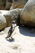 picture of jackass  - Jackass or African Penguin  - JPG