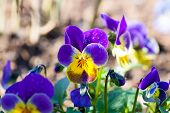 picture of viola  - garden pansy  - JPG
