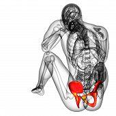 image of pelvis  - 3d render medical illustration of the pelvis bone  - JPG