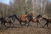 stock photo of running horse  - Herd of running horses on the dirty meadow at spring time - JPG