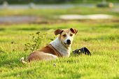 pic of stray dog  - When tired Brown stray dog laying on the grass - JPG