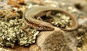 stock photo of semi-circle  - Lizard is a semi-circle on the moss with his head on a stone