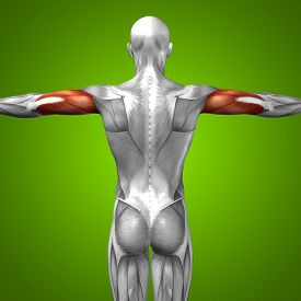 image of triceps brachii  - Concept or conceptual 3D triceps human anatomy or anatomical and muscle on green gradient background - JPG