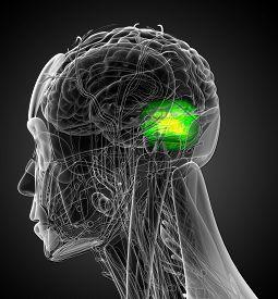 image of cerebrum  - 3d render medical illustration of the human brain cerebrum  - JPG