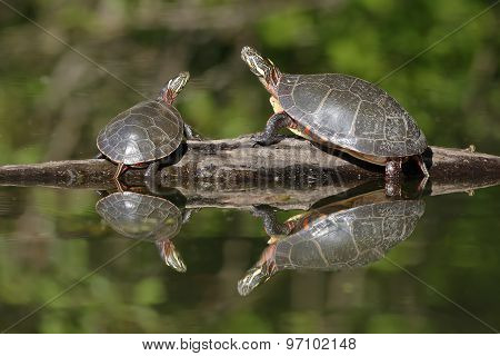 Pair of Painted Turtles Basking on a Log