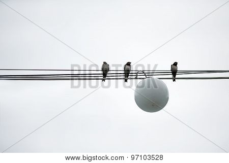 Sparrows Birds Sit On Wires Power