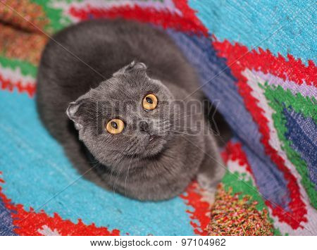 Grey Scottish Fold Cat Lying On Background Blankets