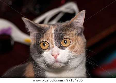 Tricolor Cat On Background Of Room