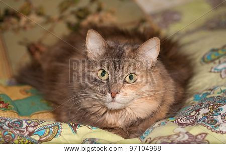 Striped Tricolor Fluffy Cat Lies On Bed