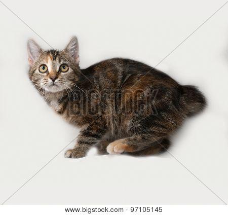 Tricolor Kitten Standing On Gray
