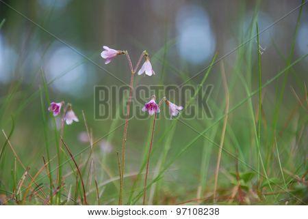 Twinflowers Closeup