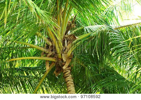 Green leaves of exotic palm tree