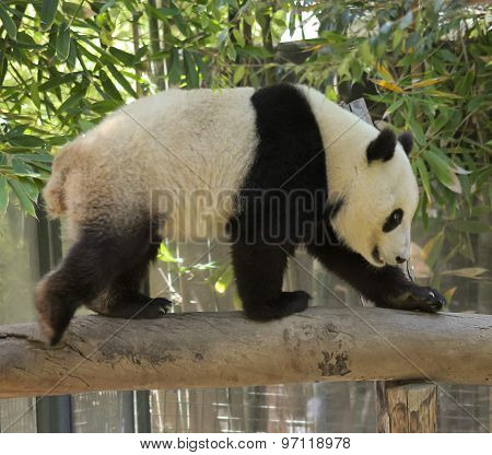 A Giant Panda Walks Across A Log