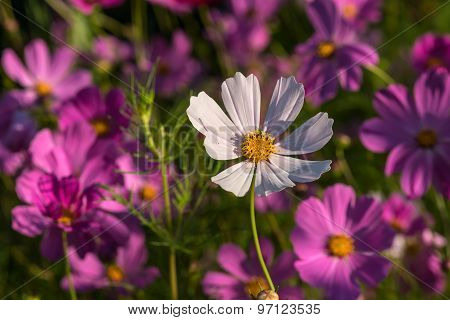 Daisy Flower White Cosmos