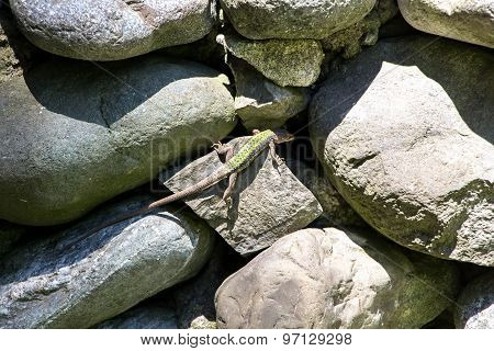 Photo of a lizard on the stones