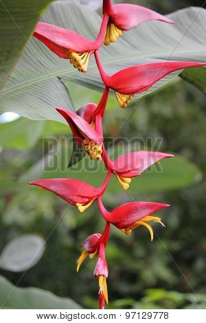 Close Up Of Red And Yellow Heliconia
