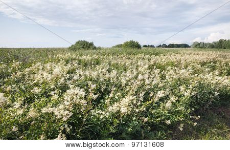 Field Of Wild White Flowers