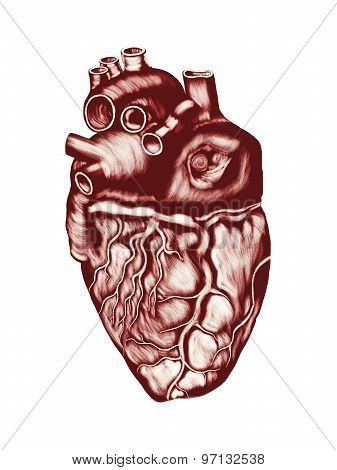 Human Heart Anatomy: chambers, valves and vessels, isolated over white.
