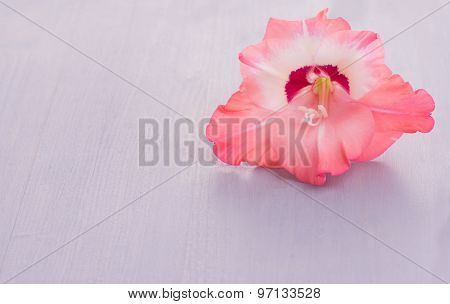 Single Gladiolus flower on rustic light violet wooden board, with copy space