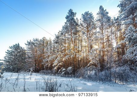 Bright Sun In The Winter Forest With Trees Covered With Hoarfrost.