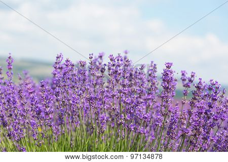 Field With The Blossoming Lavender In The Sunny Summer Day