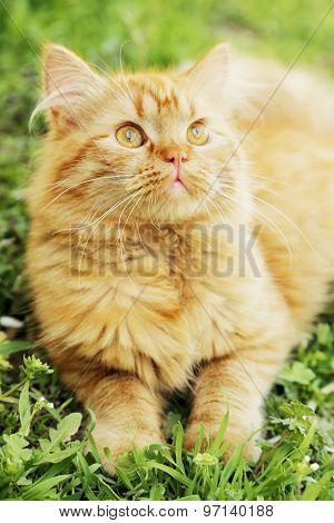 Redhead Long Hair Cat on grass, outdoors