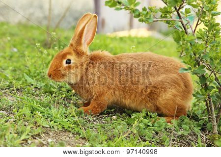 Young red rabbit on green grass, outdoors