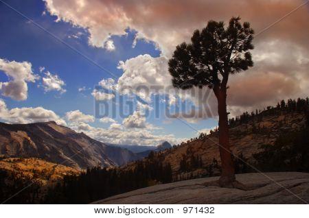 Lone Tree Yosemite