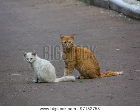 Stray Red Cat With A White Kitten On The Pavement
