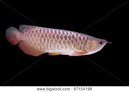 closeup arowana fish,  Dragonfish on black background