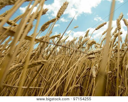 Wheat Is The View From The Bottom On The Background Of Blue Sky