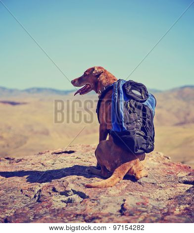 a dog sitting on a mountain top with a canvas backpack looking over a skyline toned with a retro vintage instagram filter