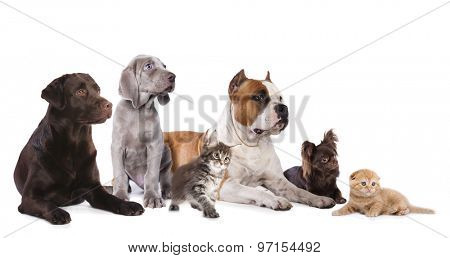 Group of dogs and kitens sitting in front of a white background