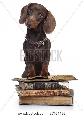 dachshund  dog and retro book