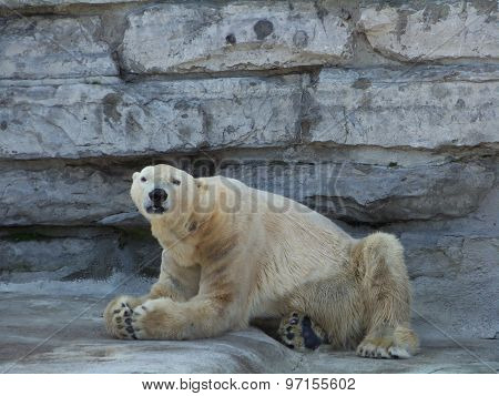 Praying Polar Bear