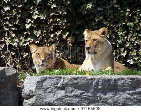 Majestic Lionesses