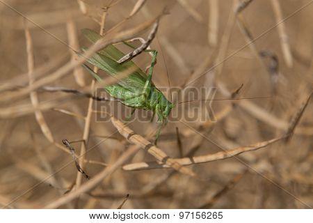 Grashopper in dry colza planz