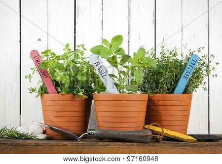 oregano, basil and thyme in pots with flower tags on shelf