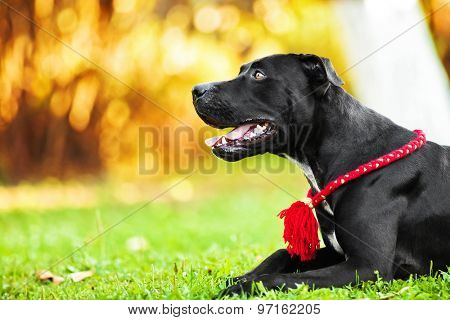 American Pit Bull Terrier black on nature