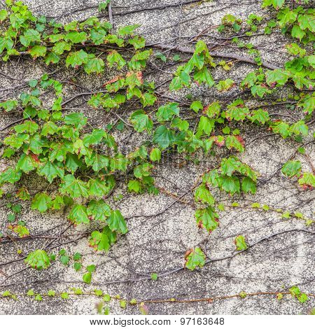 Green ivy climber tree on old concrete wall