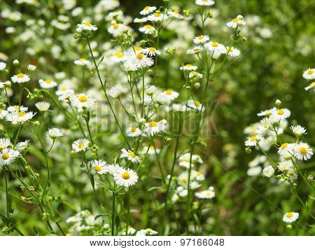 Herbs On The Lawn - Small White Camomile Flowers