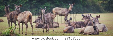 Herd of the Sambar deers. Panorama, focus on deer on far right