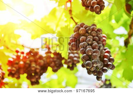 Fresh grapes waiting for harvest Tak ,Thailand.
